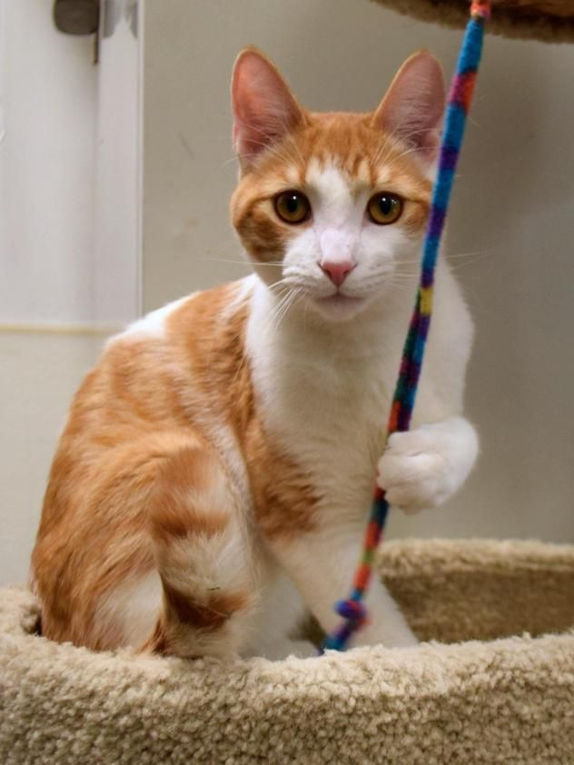 Why yes, I am a champion pole-vaulter.  Why do you ask?  This is Paulie, a cute male orange and white tabby cat, who is a sweet 7 month old kitten, calm for his age and looking for a forever home.  Want to help Paulie and his friends?  Please consider donating directly to the sanctuary, or buy a piece of jewelry from my site < https://www.etsy.com/shop/HawksReachDesigns?ref=hdr_shop_menu > and I will donate part of the proceeds on your behalf. Thanks in advance for your help :)