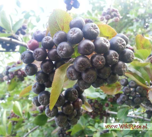 Wiki Rose >>blog: Aronia – owoc z potężną dawką zdrowia, niedoceniany przez Polaków