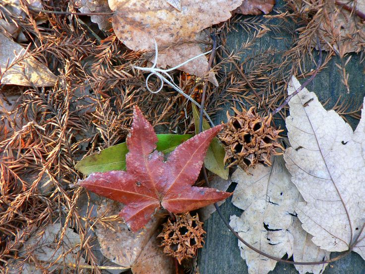 What are sweetgum tree balls?