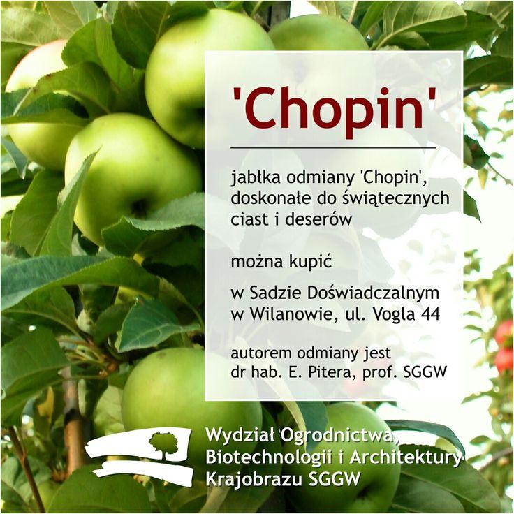 #jabłka odmiany '#Chopin', doskonałe do świątecznych ciast i deserów można kupić w #SadDoświadczalny w #Wilanów, ul. #Vogla 44, autorem odmiany jest dr hab. E. #Pitera, prof. #SGGW #WOBiAK #sad #zielonejabłka #nowaodmiana 🍏🍏🍏🍏🍏 #apple #greenapple #applepie #wuls #orchard