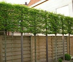 Pleached screening