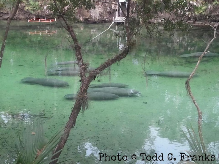 Blue Springs State Park, Orange City, Florida  >> go here when it is unseasonably cold to see the manatees gather