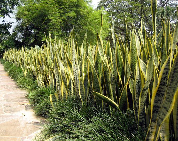 Sanseiveria trifasciata - Google Search