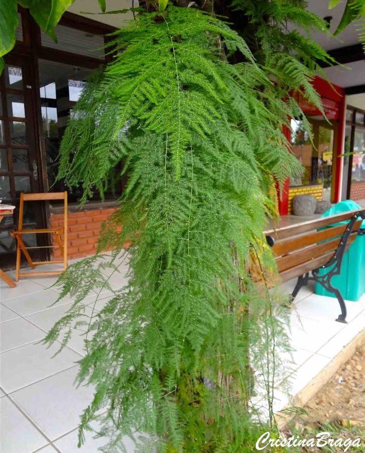 Melindre - Asparagus setaceus