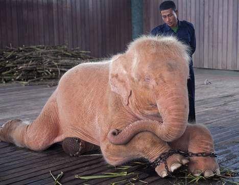 Boswachters vangen zeldzame witte olifant - AD.nl Roze olifant! :)