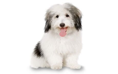 Coton de Tulear information including pictures, training, behavior, and care of Coton de Tulears and dog breed mixes.