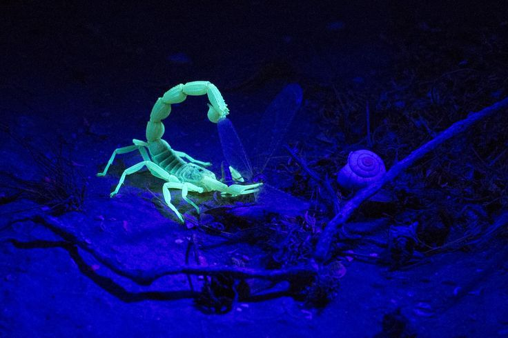 """Glow-In-The-Dark Scorpion by Uriel Sinai: This remarkable snapshot captures a """"glow-in-the-dark"""" scorpion contrasting beautifully, bizarrely against the dark of the Israeli Negev Desert behind it. Scientists are still figuring out exactly why scorpions sometimes glow under ultraviolet light. #Scorpion #Glow_in_the_Dark"""