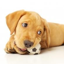 Your dog's got something in his mouth, and you need to get it back. Learn how to teach your dog to give or drop items on cue – happily, and with no conflict.