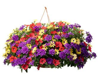 """12"""" hanging basket with 1 red supertunia in the center and 3 yellow osteospermum and 3 purple verbena around the outside"""