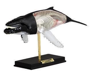 Whale anatomy dork