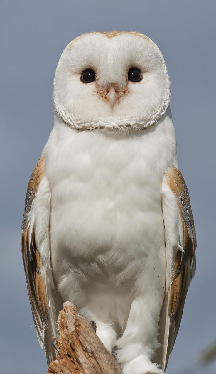 Barn Owl. by Russel Davidson on 500px ~ Why do Barn Owls looks so happy all the time, when they're total psychopaths?!