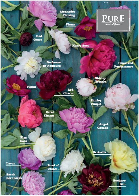 Beauty of populair peonies #seasonal #flowers #peony