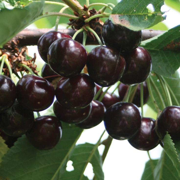 Black sweet cherry tree