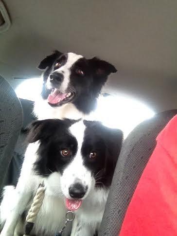 PADDY/PAMMY........HAPPY AS! GOING TATAS! dogsbigdayout.com.au