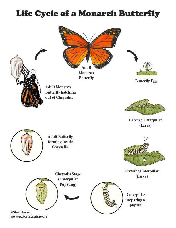 Learn More About Butterflies And Life Cycles On Exploringnature Org Monarch Butterfly Butterfly Food Monarch Butterflies Art