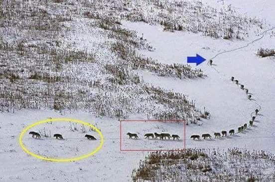 ordem da matilha de lobos : idosos, jovens, outros e, alfa.