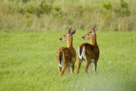 White-Tailed Deer, White-Tailed Deer Pictures, White-Tailed Deer Facts - National Geographic