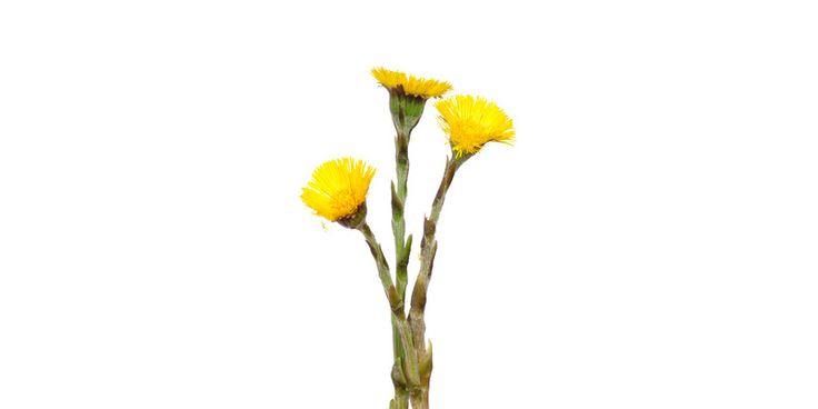 Huflattich ist ein altbekanntes Heilmittel bei Atemwegserkrankungen. Wie die Heilpflanze wirkt und wo man sie sammeln kann.