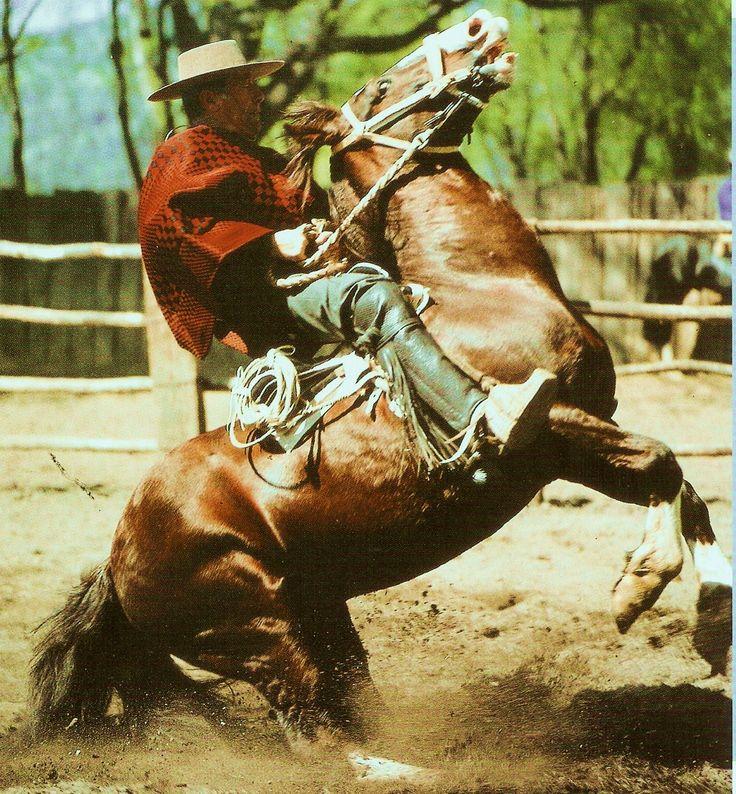 Chilean Horse Purebred accion