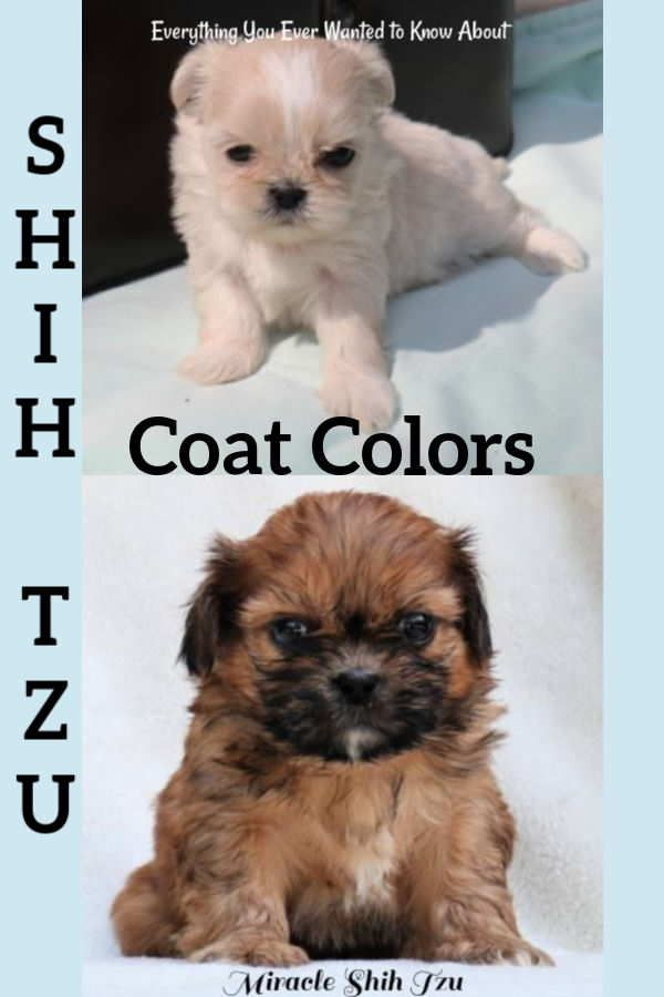 Shih Tzu Coat Colors Shih Tzu Puppy Shih Tzu Dog Shih Tzu