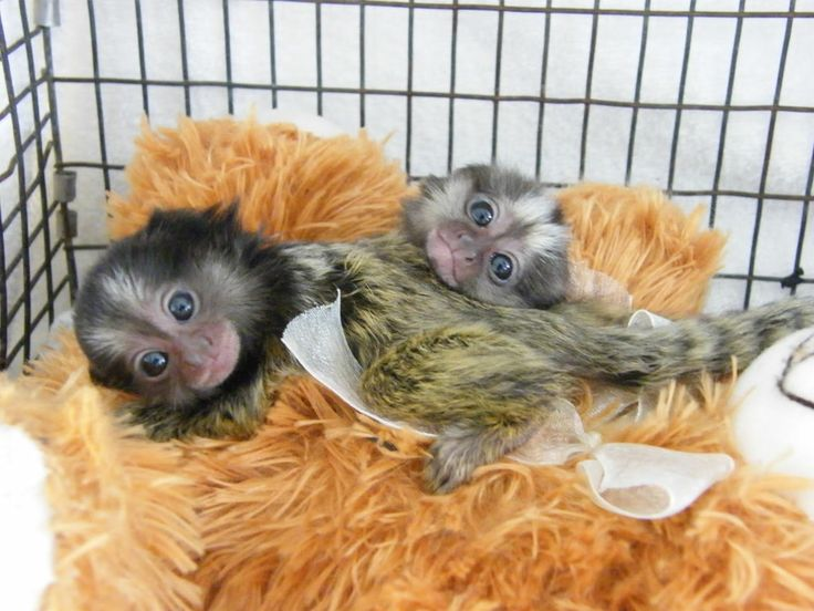 Baby Marmosets for sale - Poggis Animal House