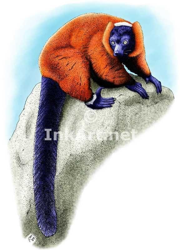 Full color illustration of a Red-Ruffed Lemur (Varecia rubra)