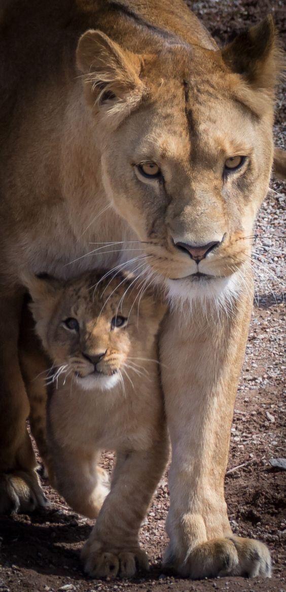A lion cub feels pretty assured when mom is nearby.