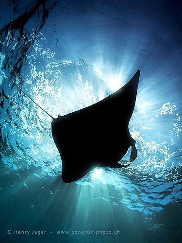 Beautiful Manta Ray