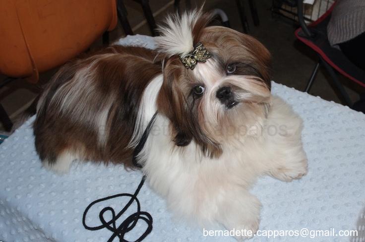 Hermès, chiot shih-tzu de 6 mois, tout en beauté pour séduire le juge lors de son premier concours canin de beauté. Crédit photo : Berbadette Capparos