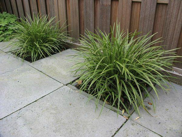 carex morrowii variegata zegge tuin pinterest plants. Black Bedroom Furniture Sets. Home Design Ideas