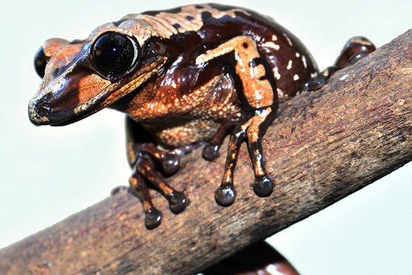 Vedci objavili nové unikátne druhy žiab. Čím sú výnimočné? Dozviete sa v našom článku: http://www.dobrenoviny.sk/c/52899/vedci-objavili-nove-unikatne-druhy-ziab-cim-su-vynimocne  #žaba #frog #science #animal #zviera #obojživelníky #objav