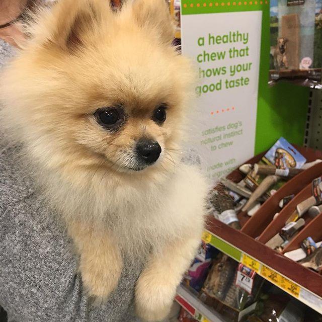 So many treats... I want all of them!🍗🍖😋 #pomeranian #pom #dog #ポメラニアン #ポメ #犬 #愛犬