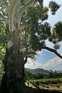 The famous Ghost Gum tree at Stony Brook, Franschhoek
