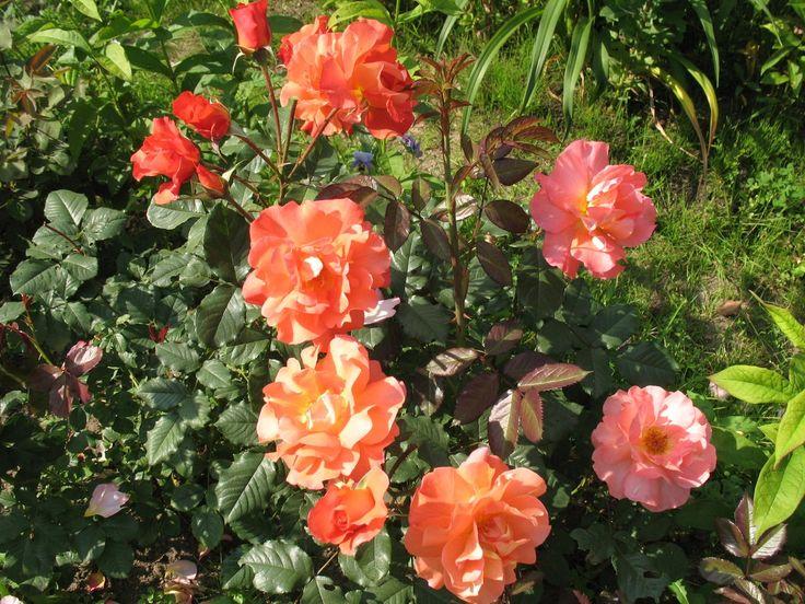 Самые, самые лучшие сорта роз. | Розы: мечты и реалии