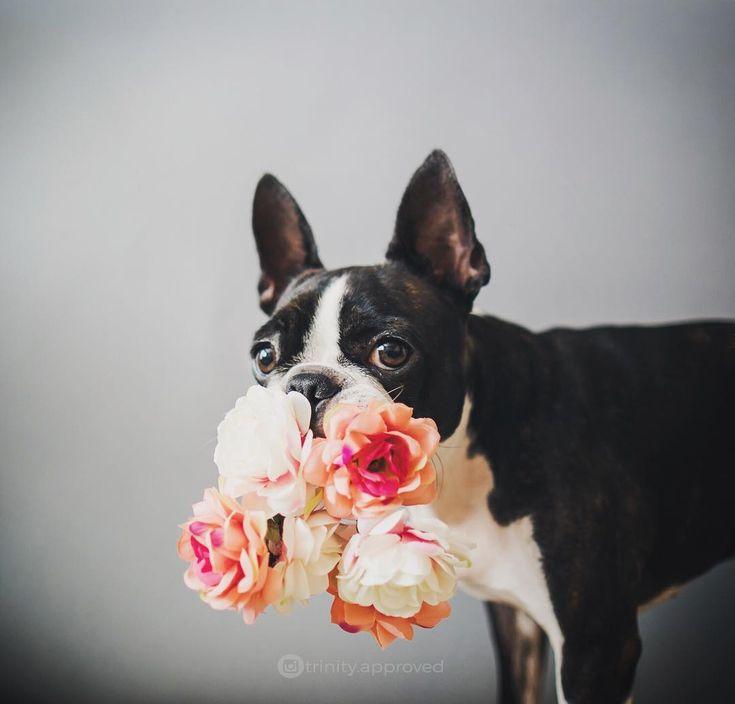 Fav Follow Friday: 10 Boston Terrier Dogs of Instagram to Follow