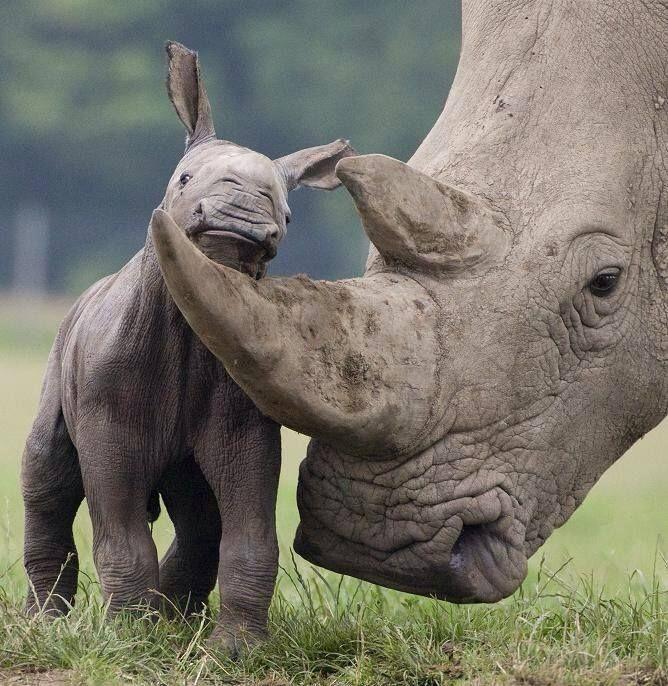 Tiny rhino calf http://africatriedandtested.com/