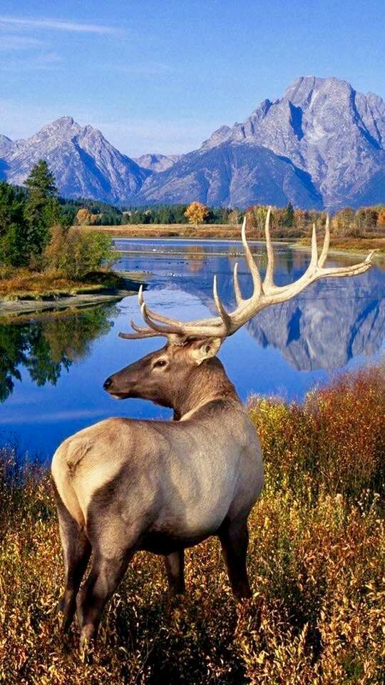 Bull Elk in Autumn
