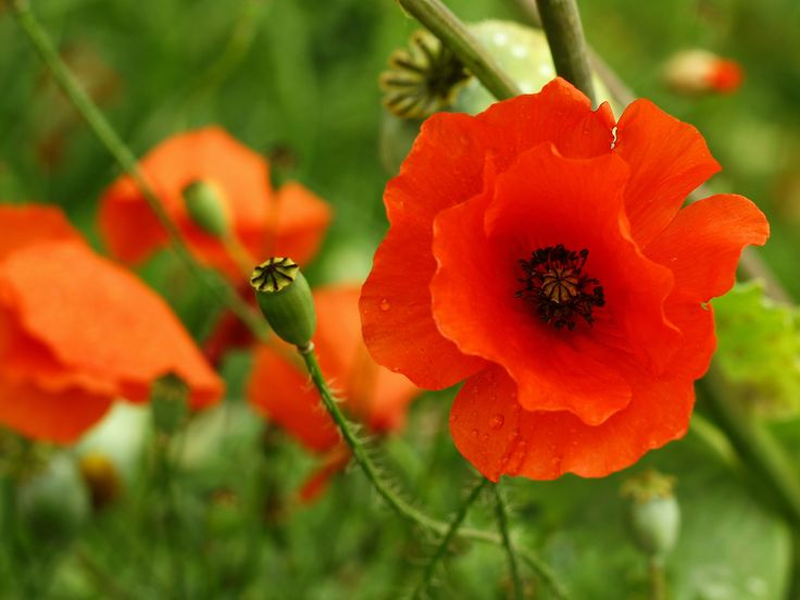 Poppy: A plant so beautiful and at the same time useful as it is the source of poppy seeds and poppyseed oil which are commonly used in the cuisine of many different cultures!