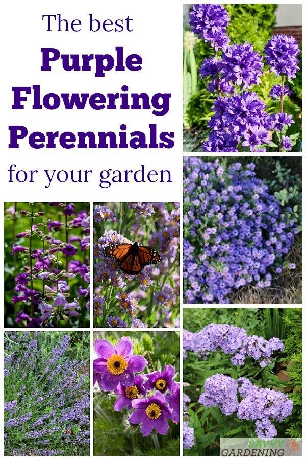 Purple Perennial Flowers 24 Brilliant Choices For Gardens Purple Perennials Small Flower Gardens Purple Flowers Garden