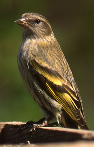 Pine Siskin  Pine siskins are a real delight in backyards, and you can attract them with seed. Learn how to attract pine siskins to your yard, and listen to their song.   Diet: Seeds, nuts, vegetable shoots, rock salt and insects.  Backyard Favorites: Nyjer (thistle) in a tube feeder with multiple perches. Also will eat cracked sunflower seeds.