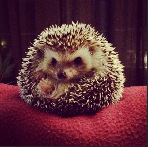 It is illegal to own a hedgehog in Pennsylvania. | 20 Enchanting Facts About Hedgehogs @JadaMarie34 Hestonnn