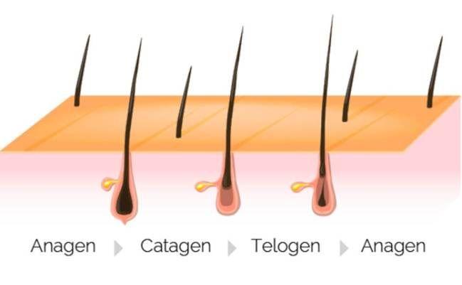 Etapas del crecimiento del vello   El ciclo del crecimiento del vello se compone de tres etapas: crecimiento transición y reposo. La duración de cada una de las etapas depende completamente de la zona de la piel a depilar los cambios hormonales y medicamentos. Por lo general el ciclo completo puede tener una duración de 3 a 12 meses.  Anágena: En esta etapa el vello esta creciendo y es perfectamente visible. Este es el estado perfecto para la depilacion definitiva ya que hay una mayor…