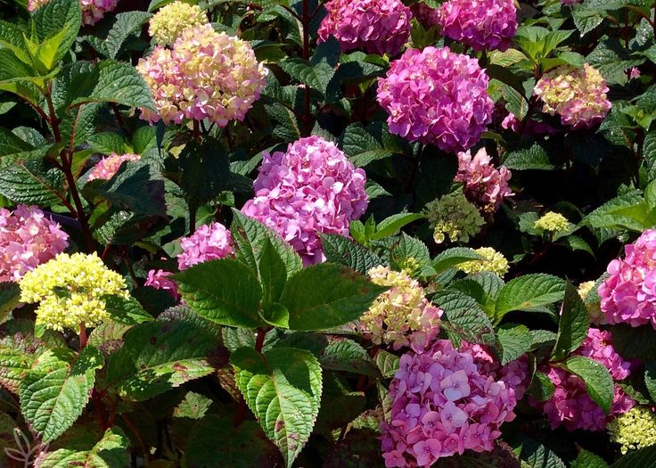Hydrangea macrophylla Endless Summer® BloomStruck®  BLOOMSTRUCK HYDRANGEA Bloomstruck is the newest addition to the Endless Summer Series of Hydrangea. Blooming on old and new wood, this beauty doesn't quit! Flowering from May until Frost, on red stems, the plant will reach 4' to 5' in height and about the same width.  Flower color is determined by your soil, flowers range from soft pink to bright purple! Perfect in sun, part shade or filtered light. Attractive to butterflies!