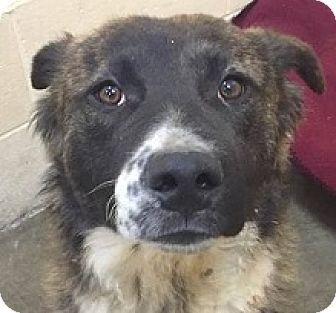 Springdale, AR - Bernese Mountain Dog Mix. Meet Brody, a dog for adoption. http://www.adoptapet.com/pet/18061670-springdale-arkansas-bernese-mountain-dog-mix
