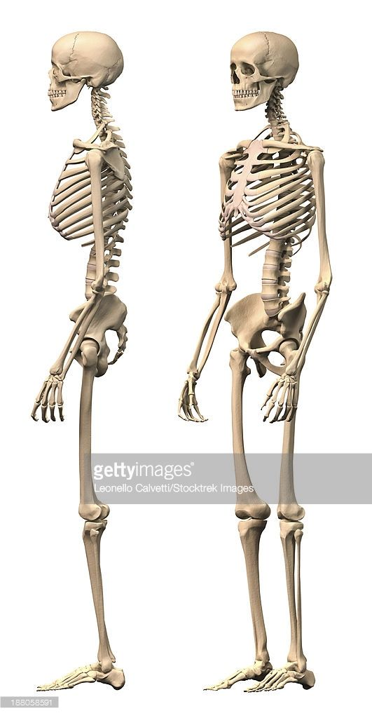 ストックイラストレーション : Anatomy of male human skeleton, side view and perspective view.