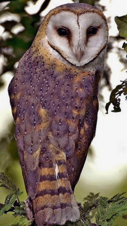 Barn Owl / Chouette Effraie