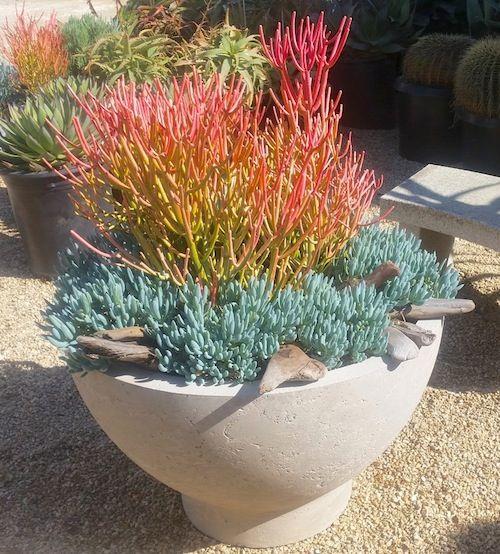 "Senecio serpens ""Blue Chalksticks"" & Euphorbia tirucalli ""Sticks on Fire"" Succulent Gardens Nursery, Watsonville CA"