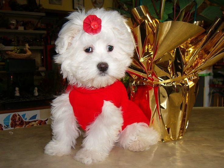 Cuccioli razza Maltese Vendo cuccioli maltese nati a giugno visibili senza impegno di acquisto per informazioni contattatemi mina_60@libero.it oppure telefonicamente solo al mattino 059925155