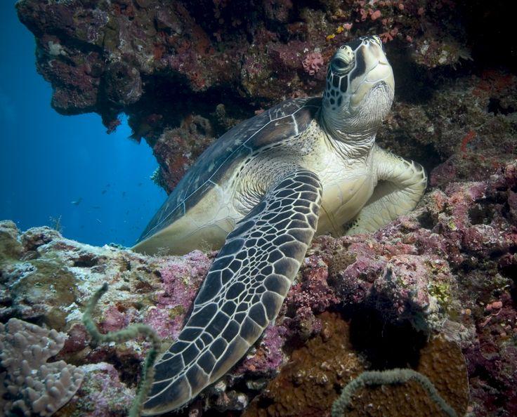 Diver friendly turtle posing for his close up at Kuredu Caves, taken by Joe Dallison, Maldives