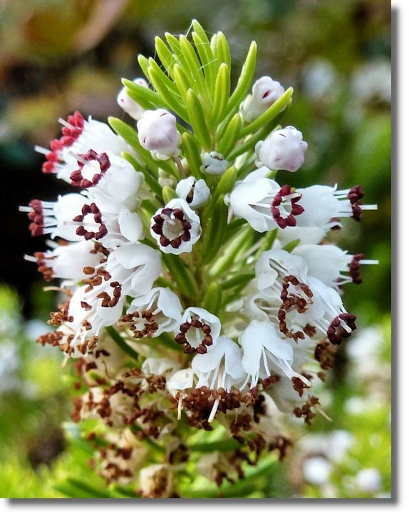 White Heather meaning- Protection; Wishes will come true